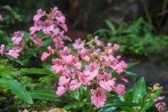 Το ρόδινος-χειλικό Habenaria (ρόδινο αιφνιδιαστικό λουλούδι δράκων) που βρίσκεται στο tro Στοκ εικόνες με δικαίωμα ελεύθερης χρήσης