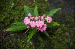 Το ρόδινος-χειλικό Habenaria (ρόδινο αιφνιδιαστικό λουλούδι δράκων) που βρίσκεται στο tro Στοκ φωτογραφίες με δικαίωμα ελεύθερης χρήσης