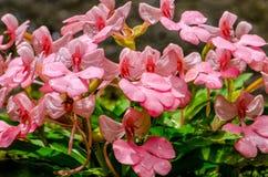 Το ρόδινος-χειλικό Rhodocheila Habenaria (ρόδινο αιφνιδιαστικό λουλούδι δράκων) Στοκ Φωτογραφία