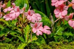Το ρόδινος-χειλικό Rhodocheila Habenaria (ρόδινο αιφνιδιαστικό λουλούδι δράκων) Στοκ εικόνα με δικαίωμα ελεύθερης χρήσης