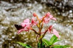 Το ρόδινος-χειλικό Rhodocheila Habenaria (ρόδινο αιφνιδιαστικό λουλούδι δράκων) Στοκ Φωτογραφίες
