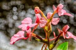 Το ρόδινος-χειλικό Rhodocheila Habenaria (ρόδινο αιφνιδιαστικό λουλούδι δράκων) Στοκ φωτογραφία με δικαίωμα ελεύθερης χρήσης