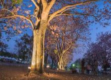 Το ρόδινο δέντρο θάμνων σαλπίγγων, ανθίζει ρόδινο ανοικτό ελαφρύ όμορφο δέντρων Στοκ εικόνα με δικαίωμα ελεύθερης χρήσης