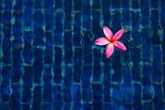 Το ρόδινο λουλούδι ή Frangipani Plumeria είναι επιπλέον σώμα στο μπλε υπόβαθρο s Στοκ φωτογραφίες με δικαίωμα ελεύθερης χρήσης