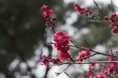 Το ρόδινο λουλούδι δαμάσκηνων Στοκ Φωτογραφία