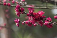 Το ρόδινο λουλούδι δαμάσκηνων Στοκ εικόνα με δικαίωμα ελεύθερης χρήσης