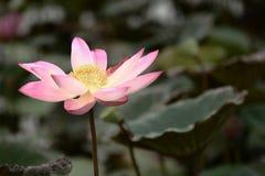 Το ρόδινο λουλούδι κρίνων νερού αυξάνεται από μια λίμνη ενώ περιβάλλεται από το λ Στοκ Φωτογραφία