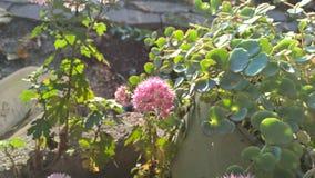 Το ρόδινο λουλούδι πράσινο βγάζει φύλλα σε centar Στοκ Φωτογραφία