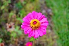 Το ρόδινο λουλούδι σε πράσινο βγάζει φύλλα ως υπόβαθρο Στοκ φωτογραφίες με δικαίωμα ελεύθερης χρήσης