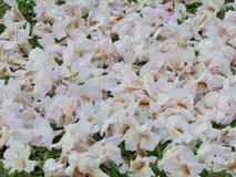 Το ρόδινο λουλούδι του ονόματος της Ταϊλάνδης είναι Στοκ Φωτογραφίες