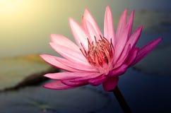 Το ρόδινο λουλούδι Lotus Στοκ Εικόνες