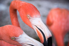 Το ρόδινο πουλί φλαμίγκο στη λίμνη στο πάρκο στοκ φωτογραφίες με δικαίωμα ελεύθερης χρήσης