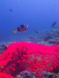 Το ρόδινο anemone Στοκ Εικόνα