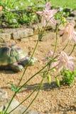 Το ρόδινο aquilegia λουλουδιών αναδρομικά φωτισμένο, κλείνει επάνω Στοκ φωτογραφία με δικαίωμα ελεύθερης χρήσης