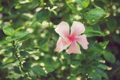 Το ρόδινο Hibiscus άνθος Κίνα αυξήθηκε λουλούδι Στοκ Εικόνες