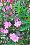 Το ρόδινο oleander ανθίζει τη φυσική κινηματογράφηση σε πρώτο πλάνο ανθοδεσμών Στοκ φωτογραφία με δικαίωμα ελεύθερης χρήσης