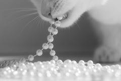 το ρύγχος γατών ` s, μια γάτα ροκανίζει τις χάντρες μαργαριταριών, γραπτή μοντέρνη φωτογραφία Στοκ Εικόνες