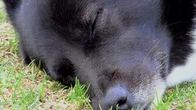 Το ρύγχος ενός ενήλικου σκυλιού στενού φιλμ μικρού μήκους