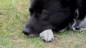 Το ρύγχος ενός ενήλικου σκυλιού στενού απόθεμα βίντεο
