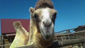 Το ρύγχος στενού ενός επάνω καμηλών, μια καμήλα μασά, μια όμορφη καθαρή καμήλα απόθεμα βίντεο