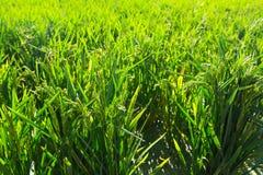 Το ρύζι αυξάνεται στην ηλιόλουστη ημέρα Στοκ Φωτογραφία