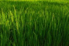 Το ρύζι είναι στον τομέα Στοκ φωτογραφία με δικαίωμα ελεύθερης χρήσης