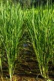 Το ρύζι είναι στον τομέα Στοκ Εικόνες