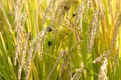 το ρύζι μολύνεται από την ασθένεια μυκήτων Στοκ φωτογραφία με δικαίωμα ελεύθερης χρήσης