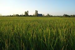 Το ρύζι μου, η ζωή μου Στοκ Εικόνες