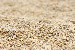Το ρύζι ορυζώνα, ρύζι ορυζώνα δεν έχει το κοχύλι έξω Στοκ Φωτογραφία