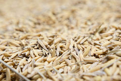 Το ρύζι ορυζώνα, ρύζι ορυζώνα δεν έχει το κοχύλι έξω Στοκ εικόνα με δικαίωμα ελεύθερης χρήσης