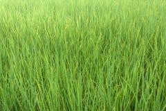 Το ρύζι στον τομέα Στοκ Εικόνα