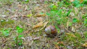 Το σαλιγκάρι σέρνεται στο έδαφος, χρόνος-σφάλμα απόθεμα βίντεο
