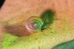 Το σαλιγκάρι σέρνεται στο φύλλο στοκ εικόνες