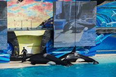 Το ΣΑΝ ΝΤΙΈΓΚΟ, ΗΠΑ - 15 ΝΟΕΜΒΡΊΟΥ, 2015 - η φάλαινα δολοφόνων παρουσιάζει εν πλω κόσμο Στοκ Εικόνες