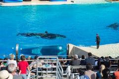 Το ΣΑΝ ΝΤΙΈΓΚΟ, ΗΠΑ - 15 ΝΟΕΜΒΡΊΟΥ, 2015 - η φάλαινα δολοφόνων παρουσιάζει εν πλω κόσμο Στοκ εικόνα με δικαίωμα ελεύθερης χρήσης