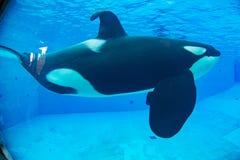 Το ΣΑΝ ΝΤΙΈΓΚΟ, ΗΠΑ - 15 ΝΟΕΜΒΡΊΟΥ, 2015 - η φάλαινα δολοφόνων παρουσιάζει εν πλω κόσμο Στοκ Φωτογραφίες