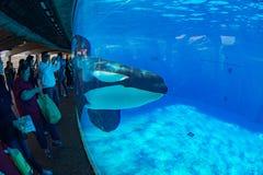 Το ΣΑΝ ΝΤΙΈΓΚΟ, ΗΠΑ - 15 ΝΟΕΜΒΡΊΟΥ, 2015 - η φάλαινα δολοφόνων παρουσιάζει εν πλω κόσμο Στοκ φωτογραφίες με δικαίωμα ελεύθερης χρήσης