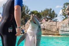 Το ΣΑΝ ΝΤΙΈΓΚΟ, ΗΠΑ - 15 ΝΟΕΜΒΡΊΟΥ, 2015 - το δελφίνι παρουσιάζει εν πλω κόσμο Στοκ Εικόνα