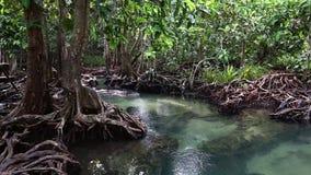 Το σαφές πράσινο ρεύμα διατρέχει της δασικής ρίζας μαγγροβίων Στη μέση της σκιερής και όμορφης φύσης κλείστε επάνω φιλμ μικρού μήκους
