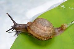 Το σαλιγκάρι είναι στο φύλλο Στοκ Φωτογραφία