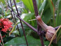 το σαλιγκάρι κήπων του γένους έλικας Στοκ Εικόνες