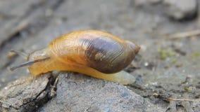 Το σαλιγκάρι σέρνεται στο έδαφος απόθεμα βίντεο