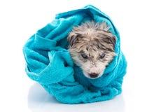 Το σιβηρικό γεροδεμένο κουτάβι μετά από το λουτρό καλύπτεται με μια μπλε πετσέτα Στοκ Εικόνες