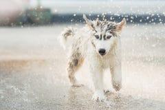 Το σιβηρικό γεροδεμένο κουτάβι τινάζει το νερό από το παλτό του Στοκ Εικόνες