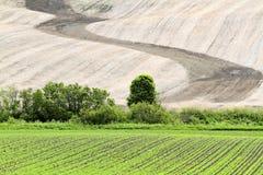 Το σιτάρι αυξάνεται σε έναν τομέα άνοιξη Στοκ Φωτογραφία