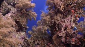 Το σκάφανδρο που βουτά κοντά στο σχολείο των ψαριών στην κοραλλιογενή ύφαλο χαλαρώνει την υποβρύχια Ερυθρά Θάλασσα απόθεμα βίντεο