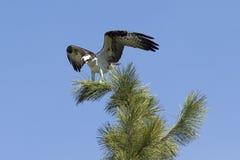 Το σκαρφαλωμένο osprey διαδίδει τα φτερά Στοκ Φωτογραφία
