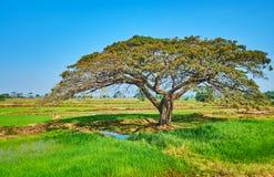 Το σκιερό δέντρο ακακιών, προάστιο Yangon, το Μιανμάρ στοκ εικόνες με δικαίωμα ελεύθερης χρήσης