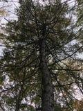 Το σκοτεινό δέντρο, βλέπει επάνω πρώιμο δάσος φθινοπώρου Στοκ φωτογραφία με δικαίωμα ελεύθερης χρήσης